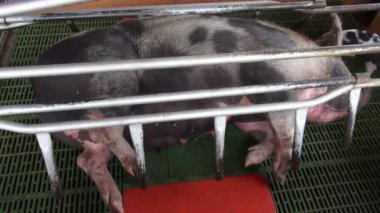 Caged Pigs, Animal Abuse — Stock Video