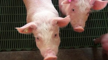 Baby Pigs, Piglets, Hogs, Farm Animals — Stock Video