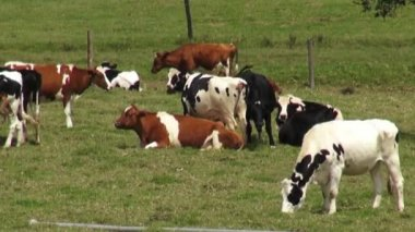 Cows, Pastures, Grazing, Farms — Stock Video