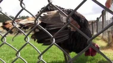 Caged Turkey, Thanksgiving, Poultry, Game Birds — Stock Video