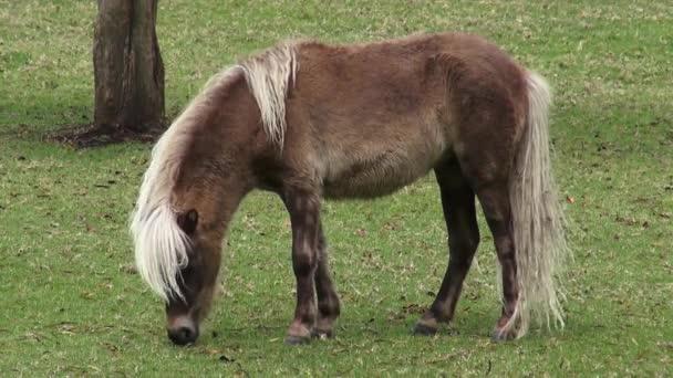 Pony, caballos miniatura, caballos, animales de granja — Vídeo de stock