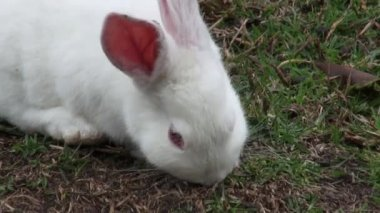 White Rabbits, Bunny, Hare, Easter, Nature — Stockvideo