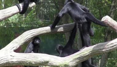 Monkeys, Primates, Zoo Animals, Wildlife, Nature — Stockvideo