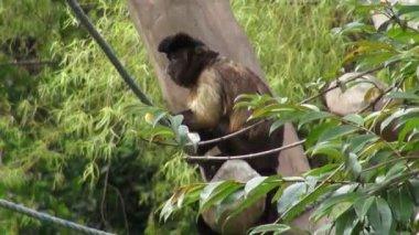 Monkeys Eating, Primates, Zoo Animals, Wildlife, Nature — Stock Video