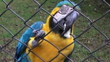 Caged Parrots, Birds, Animals, Wildlife, Nature — Stock Video
