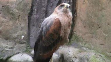 Eagles, Hawks, Birds of Prey, Animals, Wildlife, Nature — Stock Video
