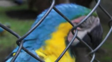 Caged Parrots, Birds, Animals, Wildlife, Nature — Stock Video