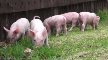 Pigs, Piglets, Hogs, Farm Animals — Vídeo stock