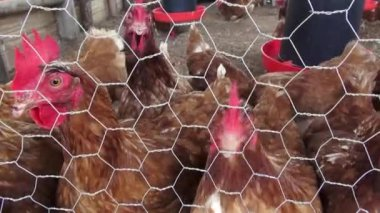 Caged Hens, Chickens, Animal Rights — Stock Video