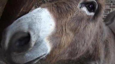 Donkey Head, Mules, Farm Animals — Vídeo stock