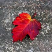 Red autumn leaf — Stock Photo