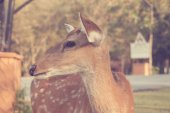 Sika deer  - Vintage effect style pictures — Stock Photo