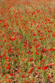 Poppies in Field (11) — Stock Photo
