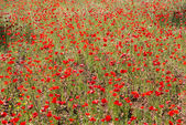 Poppies in Field (12) — Stock Photo