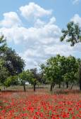 Poppies in Field (13) — Stock Photo