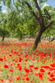 Poppies in Field (14) — Stock Photo