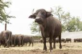 Buffalo breeding — Stock Photo