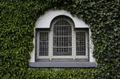 Old window on ivy covered wall — Stock Photo