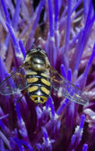 Wasp on flower macro — Stok fotoğraf