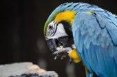 Macaw feeding — Stock Photo