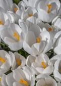 White crocus with yellow orange pistil — Stock Photo