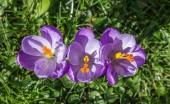 Purple crocus with yellow pistil — Stock Photo