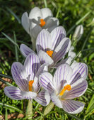 Violet striped crocus with yellow pistil — Stock Photo