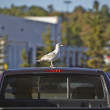 Seagull on a car roof — Stock Photo #54102113
