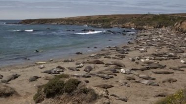 Huge colony of elephant seals — Stock Video