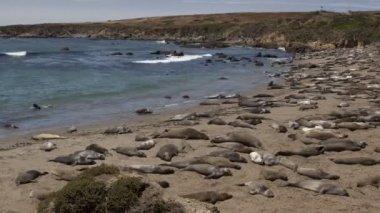 Huge colony of elephant seals — Stock Video