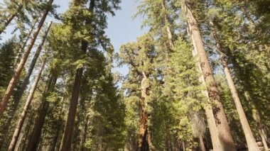 Tourists visiting the tall Forest of Sequoias — Stock Video