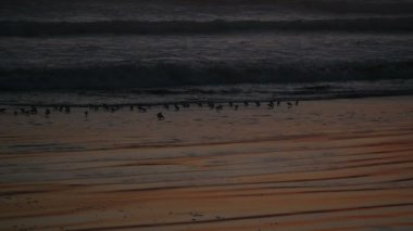 Slowmotion birds on the beach at sunset — Stock Video