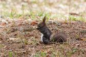 Marrom de esquilo na primavera — Fotografia Stock