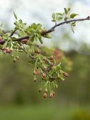 яблоневый цвет — Стоковое фото