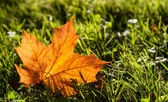Lone fall leaf on grass — Stock Photo