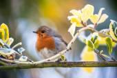 Cute fluffy red robin bird — Stock Photo