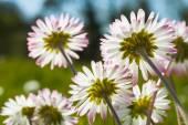 Daisy flowers in bloom — Zdjęcie stockowe