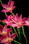 Closeup of pale pink amaryllis flower on black background with — Stock Photo