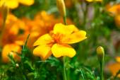 Tagetes is perennial, mostly herbaceous plants in the sunflower  — Stock Photo