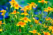 Tagetes flowers in the garden — Stock Photo