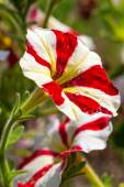 Beautiful red and white striped petunia flowers in garden — Stock Photo