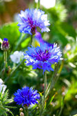 Blue cornflowers growing in a field. small depth of sharpness — Stock Photo