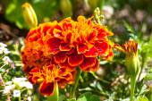 Close-up photo of orange Tagetes flower (marigold). Selective fo — Stockfoto