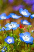 Nemophila flower field, blue flowers in the garden — Stock Photo