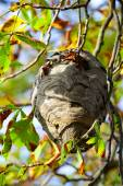 Wasp nest hangs in a tree with autumn leaves. — 图库照片