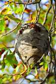 Wasp nest hangs in a tree with autumn leaves. — Stock Photo