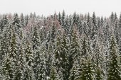 High mountain snowy spruce forest, covered by hoar frost and the — Stock Photo