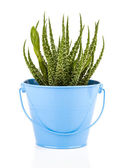 Aloe humilis is a species of the genus Aloe, on white background — Stock Photo