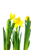 Daffodil flower or narcissus bouquet isolated on white backgroun — Стоковое фото