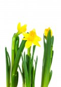 Daffodil flower or narcissus bouquet isolated on white backgroun — Photo